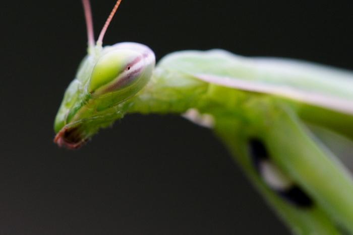 Kudlanka nábožná - Mantis religiosa