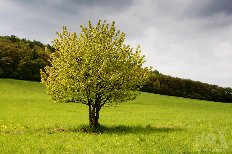 Jarní strom na zelené louce / Spring tree in green meadow